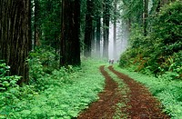 Del Norte Redwoods in fog, Redwood National Park. Northern California, USA