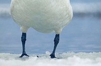 Whooper swan (Cygnus cygnus), winter. Sweden