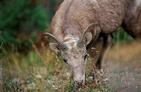 Bighorn Sheep, Kootney National park, British Columbia