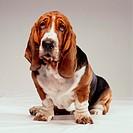 A Bassett hound
