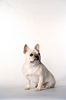 French Bulldog female, 1 1/2 years old.