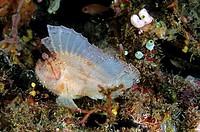 Leaf Scorpionfish (Taenianotus triacanthus), a venomous fish, off of Komodo Island, Indonesia.