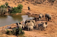 African elephant (Loxodonta africana) herd surrounding a water hole in Addo National Park, South Africa.