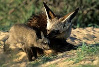 Bat-eared fox (Otocyon megalotis) mother and cub in Kgalgadi Transfrontier Park, Kalahari, South Africa.