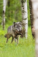 Wolf (Canis lupus), adult with young. Minnesota, USA