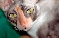 Female calico Cornish Rex with gold green eyes