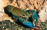 Red-claw Crayfish (Cherax quadricarinatus). Mitchell River, Queensland, Australia