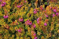 Heather (Erica carnea ´Ann Sparkes´) flowers.