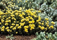Helichrysum stoechas flowers. Photographed in March, in Mallorca, Spain.