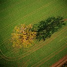Tree in a cultivated field, aerial photograph. Photographed in England, UK, in autumn.