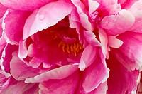 Peony (Paeonia lactiflora) flower petals.