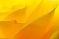 Rose petals. Petal structure of a yellow rose (Rosa sp.). Brightly coloured petals in a flower serve as visual attractants to pollinators. Rose flower...