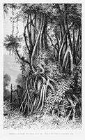 Vegetation at Cuyambi river, Ficus elliptica. Engraving from 'Le Tour du Monde'