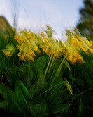 Blurred image of yellow bellflowers  Sweden