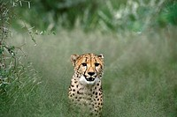 A cheetah