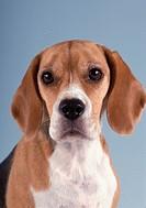 Portrait of a spaniel
