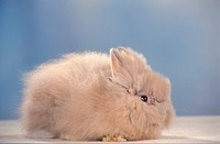 A shaggy infant rabbit