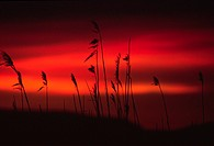 Silhouette of tall grass at dusk