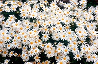 Daisies, Chrysanthemum leucanthemum