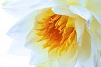 lotus Nymphaea alba
