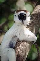 Verreaux´s Sifaka (Propithecus verreauxi verreauxi). Berenty Reserve, Madagascar