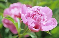 Pink peony
