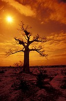 Baobab Tree, Limpopo, Musina, South Africa