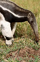 Giant Anteater (Myrmecophaga tridactyla) endangered species feeding on agresive ants' nest in savannah grasslands. Caiman Ecological Reserva, Pantanal...