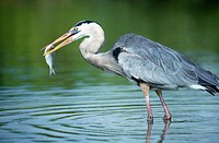 Great Blue Heron (Ardea herodias), adult in breedind colours fishing in shallow mangrove lagoon. Santa Cruz island, Galapagos Islands. Ecuador
