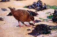 Weka Rail (Gallirallus australis) -endemic species- foraging in intertidal zone. Stewart Island, New Zealand