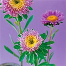 Chrysanthemums (thumbnail)