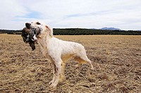 English Setter holding a partridge. Archidona, Málaga province. Andalusia, Spain