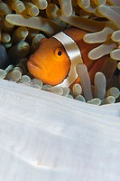 False clown anemone fish, Amphiprion ocellaris, and anemone shrimp, Periclimenes tosaensis, on giant sea anemone, Stichodactyla gigantea, Dumaguete, N...