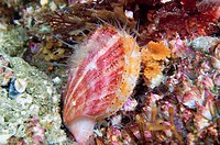 Swimming Scallop, Pink scallop, Pacific pink scallop, Spiny Pink Scallop, Chlamys hastata, Pacific Northwest, Canada, swims when disturbed