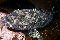 Lingcod, Pacific Northwest, Canada, Ophiodon elongatus, grow to 105 pounds, 5 ft