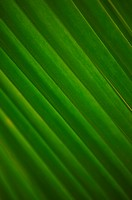 Close-up detail of coconut palm leaf, yellow and green