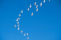 Snow geese, flying in a formation - horizontal against a blue sky