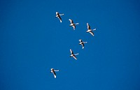 Snow geese flying in a V formation