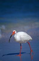 White Ibis (Eudocimus albus) fishing on beach. Florida, USA