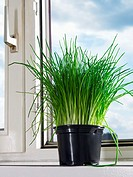 Chives on a windowsill