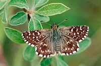 Butterfly (Pyrgus malvae)