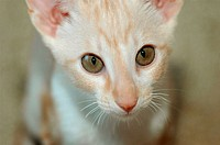 Red adn White 16 week old Cornish Rex by Oriental Shorthair cross