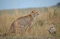 Cheetah family on the savanna, Masai Mara, Kenya