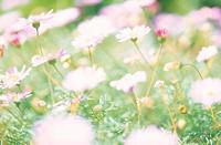 Flower,Brachycome Swan-River-Daisy,Brachycome Brachyscome