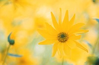 Flower,Perennial-Sunflower Woodland-Sunflower,Helianthus