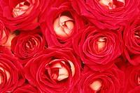 Flower,Rose,Rosa