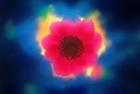 Flower,Anemone Windflower,Anemone
