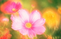 Flower,Cosmos Cosmea,Cosmos