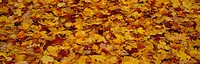Close-up of fallen leaves, Pennsylvania, USA