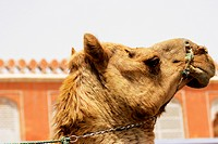 Side profile of a camel, Jaipur, Rajasthan, India